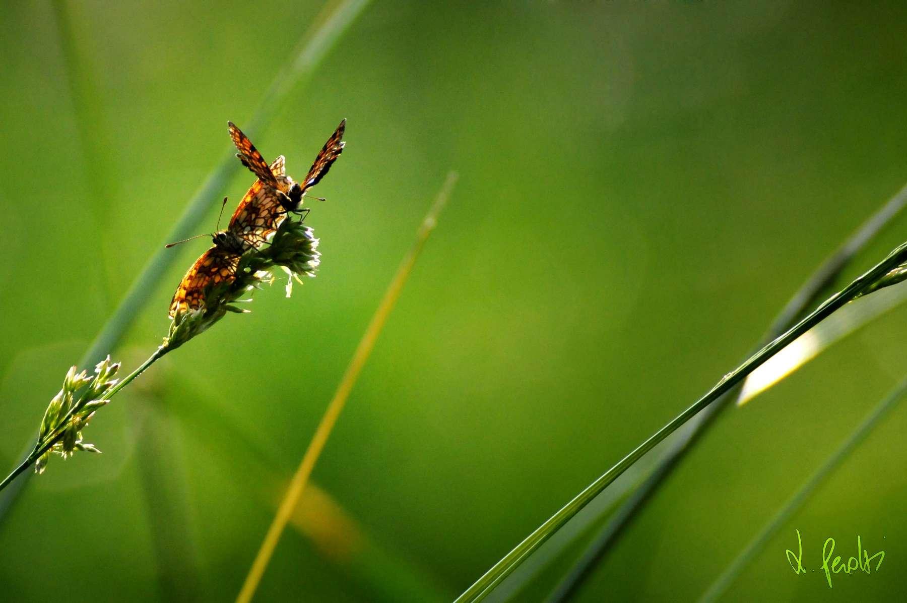 Farfalla-DSC_3529